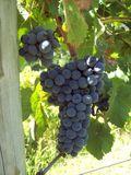 Grapes101